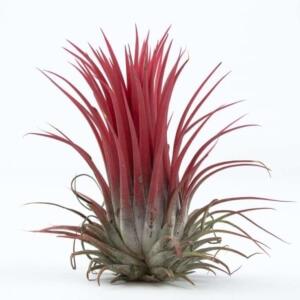 Атмосферная тилландсия Ionantha red