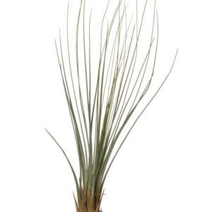 Атмосферная тилландсия Juncifolia