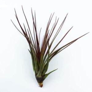 воздушное растение тилландсия меланократор красная